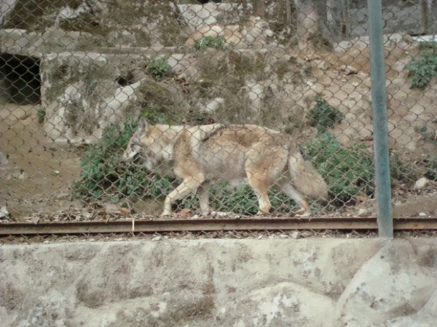 wolf at the zoo! NO twilight mongers, that's NOT Jacob!!! Leave the poor animal alone!